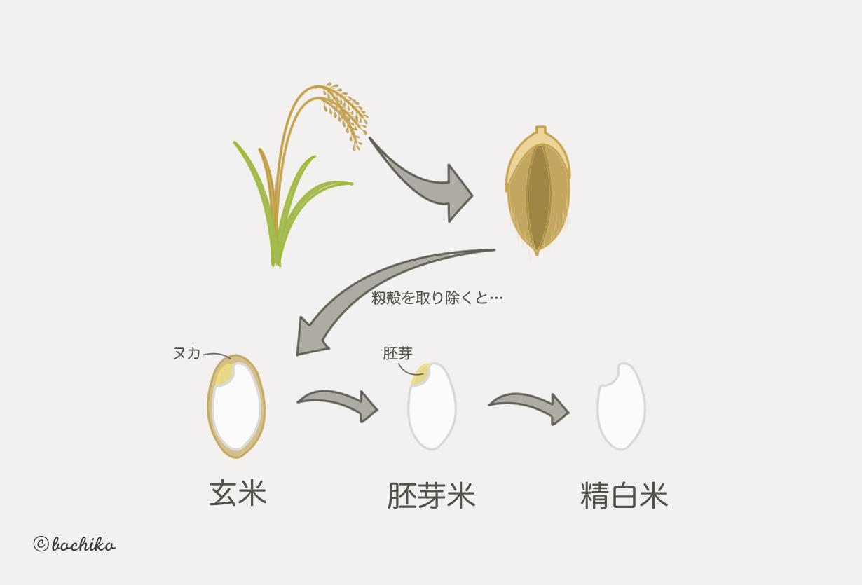 玄米にはどんな栄養素が含まれている?玄米を食べて健康な体づくり!