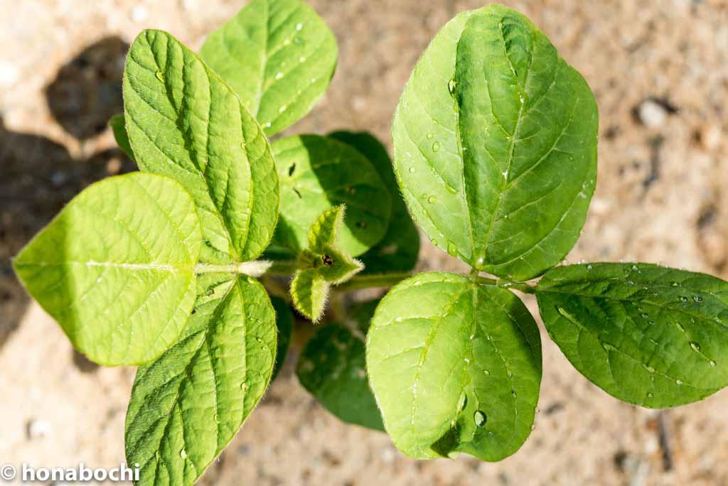【枝豆の栽培】枝豆が食べたい!ならば枝豆を作ろう!